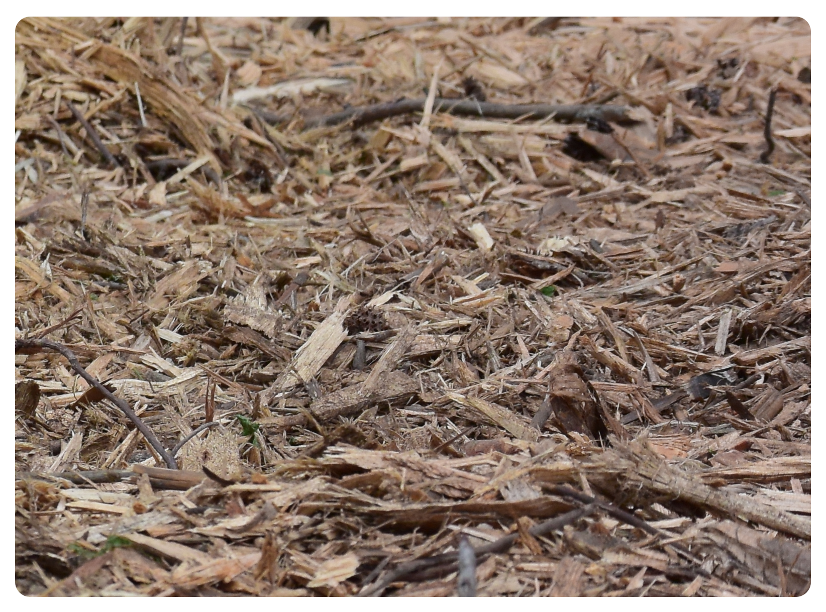 mulched trees
